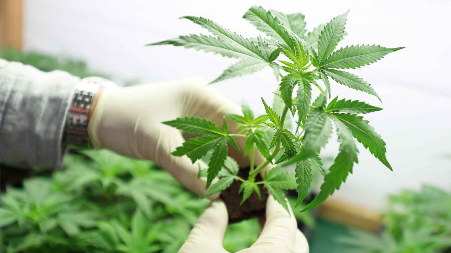 Alpha cannabis pharma germany optimal management of steroid dependent ulcerative colitis